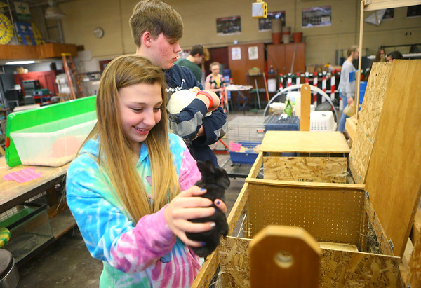 Lexi Musgrave, 15, a freshman in Maconaquah High School's intro to agriculture class, checks on the baby rabbits in the Brave Bunny Rabbitry on Feb. 26, 2020.<br /> Kelly Lafferty Gerber | Kokomo Tribune