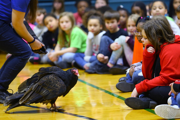 Elwood Haynes Elementary students were treated to birds of prey from the American Eagle Foundation thanks to a grant by Duke Energy on January 28, 2020. Fifth grader Amelia Cottrell watches George, an turkey vulture, walk around the gym floor.<br /> Tim Bath | Kokomo Tribune