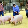 Hunter Foland, Cora Bartrum and Ella Flanary - <br /> Showing swine in the Howard County 4-H Fair on July 17, 2020.<br /> Tim Bath | Kokomo Tribune