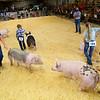 Showing swine in the Howard County 4-H Fair on July 17, 2020.<br /> Tim Bath | Kokomo Tribune