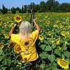 Toni Price picks sunflowers.<br /> Tim Bath | Kokomo Tribune