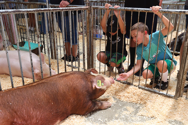 7-14-21<br /> Paxton Hurst and Sam Ewing check out some of the swine before they are shown at the Howard County Fair Wednesday.<br /> Tim Bath | Kokomo Tribune