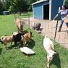 7-14-21<br /> Stephanie Schwartz feeding some of the animals at Blue Barn Farm.<br /> Tim Bath | Kokomo Tribune