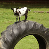7-14-21<br /> Blue Barn Farms run by Stephanie Schwartz and family.<br /> Tim Bath | Kokomo Tribune