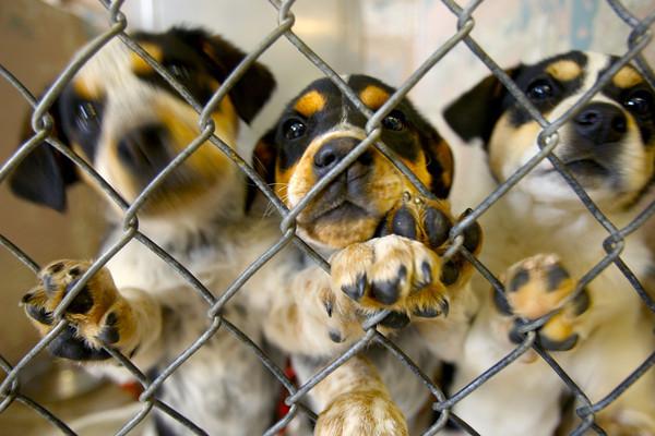3-31-14   --- Bluetick Coonhound/Siberian Huskeys waiting to be adopted.  Kokomo Humane Society is raising funds to build a new facility. -- <br />   Tim Bath | Kokomo Tribune