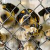3-31-14   --- Bluetick Coonhound/Siberian Huskeys waiting to be adopted.  Kokomo Humane Society is raising funds to build a new facility. -- <br />   Tim Bath   Kokomo Tribune
