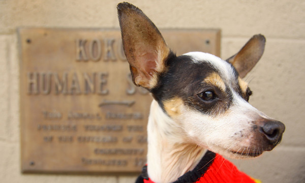 3-31-14   --- Fox Terrier waiting to be adopted.  Kokomo Humane Society is raising funds to build a new facility. -- <br />   Tim Bath | Kokomo Tribune