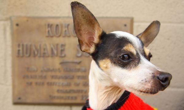 3-31-14   --- Fox Terrier waiting to be adopted.  Kokomo Humane Society is raising funds to build a new facility. -- <br />   Tim Bath   Kokomo Tribune