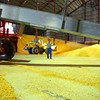"8-1-14<br /> Clerance ""Hoppy"" Trueman guides the driver of a conveyor into position inside the massive 5 million bushel warehouse at Kokomo Grain<br /> Tim Bath 