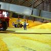 "8-1-14<br /> Clerance ""Hoppy"" Trueman guides the driver of a conveyor into position inside the massive 5 million bushel warehouse at Kokomo Grain<br /> Tim Bath   Kokomo Tribune"