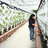 12-10-13<br /> Green River Greenhouse<br /> Dina Hamlet works on some of the plants at the Green River Greenhouse.<br /> KT photo | Kelly Lafferty