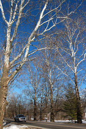 2-21-14<br /> Sycamore trees along Business 31 in Peru<br /> <br /> KT photo | Kelly Lafferty