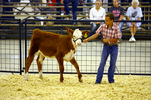 7-8-14 <br /> Howard County Fair. Breyton Hensley showing a heifer.<br /> Tim Bath | Kokomo Tribune