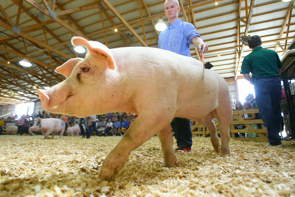 7-9-14 <br /> Howard County Fair swine judging.<br /> Tim Bath | Kokomo Tribune