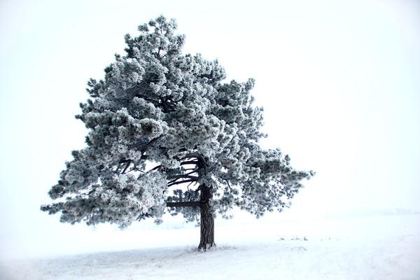 Snow and ice on a bald cypress tree in northwestern Howard County Wednesday Jan. 14, 2015.<br /> Tim Bath | Kokomo Tribune