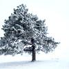 Snow and ice on a bald cypress tree in northwestern Howard County Wednesday Jan. 14, 2015.<br /> Tim Bath   Kokomo Tribune