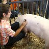 7-11-12<br /> Supreme Showmanship contest<br /> Peyton Hite brushes down her pig near the end of the Supreme Showmanship competition. Hite won the title of Supreme Showman on Wednesday.<br /> KT photo | Kelly Lafferty