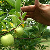 7-23-12<br /> Apples at Hainlen Orchard are not growing to the size they should be at this point in the growing season due to the drought.<br /> KT photo | Tim Bath