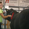 7-11-12<br /> Supreme Showmanship contest<br /> Kendall Hensley brushes down a steer during the Supreme Showmanship competition held on Wednesday.<br /> KT photo | Kelly Lafferty