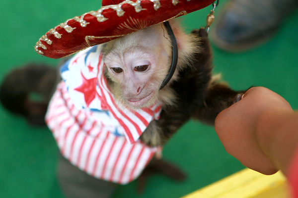 7-12-12<br /> JoJo the Monkey at Howard County Fair<br /> JoJo is trained to take a quarter from a person. After receiving the quarter he puts it in his pocket and tips his hat.<br /> KT photo   Kelly Lafferty