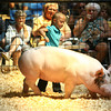 7-11-12<br /> Howard County 4h Fair - Swine or hog judging<br /> Emily Princell showing a swine during the mini-4h showmanship.<br /> KT photo | Tim Bath