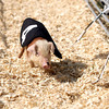 7-9-12<br /> Pigs race around a track to get a piece of an Oreo cookie during the Howard County fair on Monday.<br /> <br /> KT photo | Kelly Lafferty
