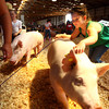 7-11-12<br /> Howard County 4h Fair - Swine or hog judging<br /> Regan Hillman showing a swine during the mini-4h showmanship.<br /> KT photo | Tim Bath