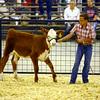 7-8-14 <br /> Howard County Fair. Breyton Hensley showing a heifer.<br /> Tim Bath | Kokomo Tribune