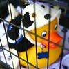 7-17-14<br /> Duck Derby<br /> <br /> Kelly Lafferty   Kokomo Tribune