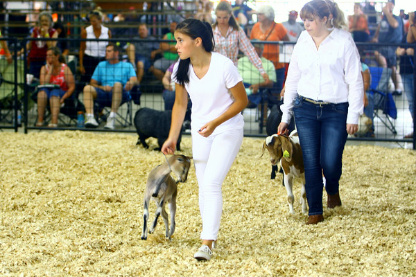 7-7-14 <br /> Howard County Fair. Morgan Fetters competing in the senior showmanship.<br /> Tim Bath | Kokomo Tribune