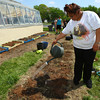 5-8-13<br /> Kokomo Area Career Center culinary arts students planting an herb and vegetable garden at KHS.<br /> Atia McClerkin watering the potatoes.<br /> KT photo | Tim Bath