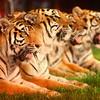 5-9-14<br /> Kelly Miller Circus<br /> Tigers perform at the Kelly Miller Circus on Friday in Kokomo.<br /> Kelly Lafferty | Kokomo Tribune