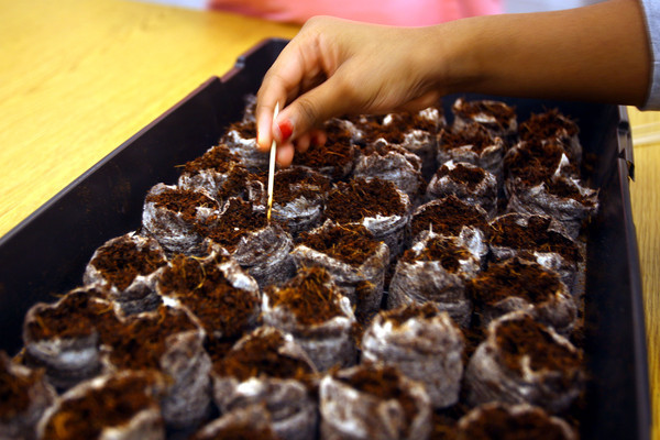 2-27-14   --- Students at Boulevard Elementary plant tomato seeds that have traveled into space. They also plante seeds that have not to see if there is any difference in growing patterns. -- <br />   KT photo   Tim Bath