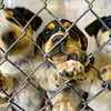 3-31-14   --- Bluetick Coonhound/Siberian Huskeys waiting to be adopted.  Kokomo Humane Society is raising funds to build a new facility. -- <br />   Tim Bath | Kokomo Tribune