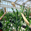 4-28-14   --- Beck's Hybrids located in Hamilton county will be expanding and creating more jobs.  Allen LeRoy puts bags over the plants pollen to control pollination. -- <br />   Tim Bath | Kokomo Tribune
