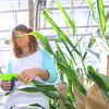 4-28-14   --- Beck's Hybrids located in Hamilton county will be expanding and creating more jobs. Colleen Woodruff, assistant greenhouse manager, taking samples from leaves of a corn stalk for testing. -- <br />   Tim Bath | Kokomo Tribune