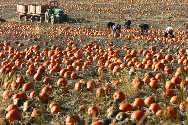 10-12-12    Wednesday Photo<br /> Pumpkins being harvested in the early morning light along Ind 22 about 700 East.<br /> KT photo   Tim Bath
