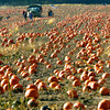 10-12-12    Wednesday Photo<br /> Pumpkins being harvested in the early morning light along Ind 22 about 700 East.<br /> KT photo | Tim Bath
