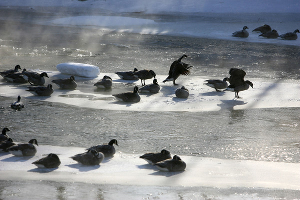 1-6-14   --- Heavy snow blanketed Kokomo and surrounding areas with cold temp below zero. Geese perched on the ice on the Wildcat Creek near Phillips Road. -- <br />   KT photo | Tim Bath