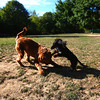 9-14-13<br /> Dogs play together at Mehlig Park on Saturday morning.<br /> KT photo | Kelly Lafferty