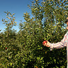 9-18-12 <br /> Jason McClure talks about and shows the poor quality of apples that a few trees have produced. Most trees produced no apples. Jason is able to pick all the apples from this tree without a basket. A couple look ok.<br /> KT photo | Tim Bath