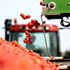 9-20-12 <br /> Tomatoes being harvested on the Hobbs farm in Tipton County. <br /> KT photo | Tim Bath