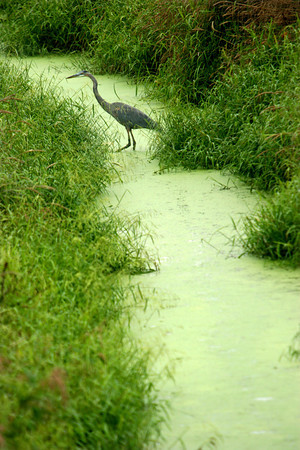 9-17-12<br /> A Blue Herrin hunting in a drainage ditch in Tipton County.<br /> KT photo | Tim Bath