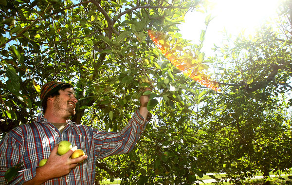 9-18-12 <br /> Jason McClure talks about and shows the poor quality of apples that a few trees have produced. Most trees produced no apples. Jason is able to pick all the apples from this tree without a basket.<br /> KT photo   Tim Bath