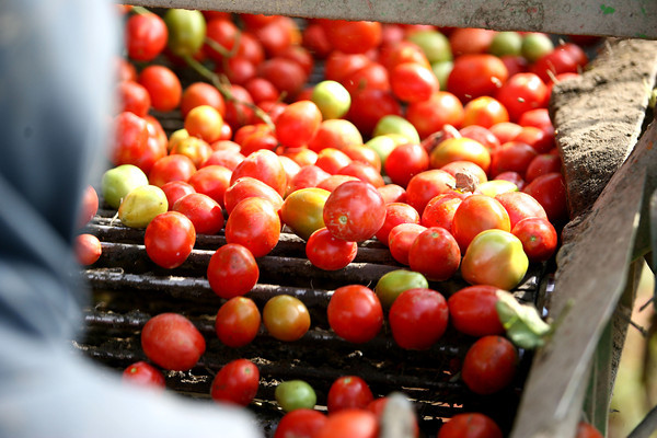 9-20-12 <br /> Tomatoes being harvested on the Hobbs farm in Tipton County. <br /> KT photo   Tim Bath