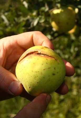9-18-12 <br /> Jason McClure talks about and shows the poor quality of apples that a few trees have produced. Most trees produced no apples. Drought caused the outside to harden. When the rains came the apples grew with moisture but the skin split.<br /> KT photo | Tim Bath