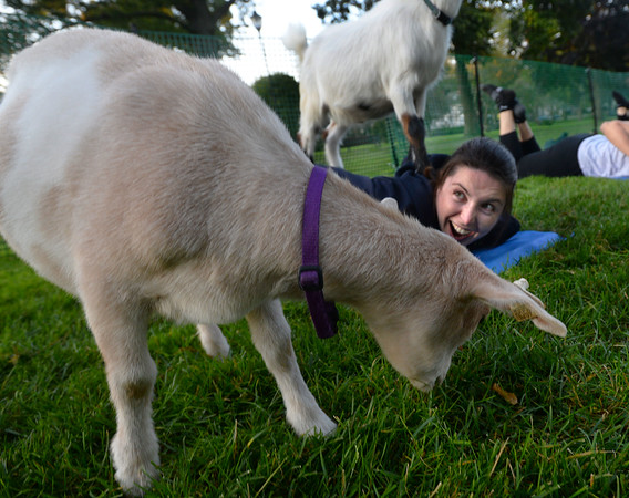 CARL RUSSO/Staff photo. Butterscotch eats the grass next to Alexandra McDougall of Andover as Spruce surprises her by jumping on her back. <br /> <br /> Goat yoga class in the Andover Park Thursday night. The Andover Recreation Dept. held the event featuring baby goats from Chip-in Farm in Bedford Ma. 9/19/2019