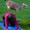 CARL RUSSO/Staff photo. Poppy the goat leaps of the back of a participant of the class. <br /> <br /> Goat yoga class in the Andover Park Thursday night. The Andover Recreation Dept. held the event featuring baby goats from Chip-in Farm in Bedford Ma. 9/19/2019