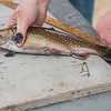 AMANDA SABGA/Staff photo<br /> <br /> A trout is measured for length during the Annual Fishing Derby at Hood Park during the Downtown Derby Day event in Derry, NH.<br /> <br /> 5/4/19