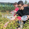 AMANDA SABGA/Staff photo<br /> <br /> Edgar Pacheco, 15, and Jacob Brindle, 16, pick raspberries in the garden as part of the Extended School Year Program for students with special Needs at Haverhill High School. <br /> <br /> 8/7/19